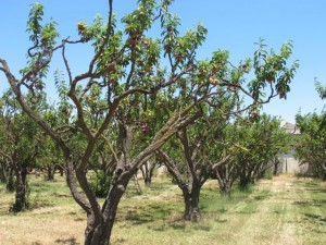 Old plum trees